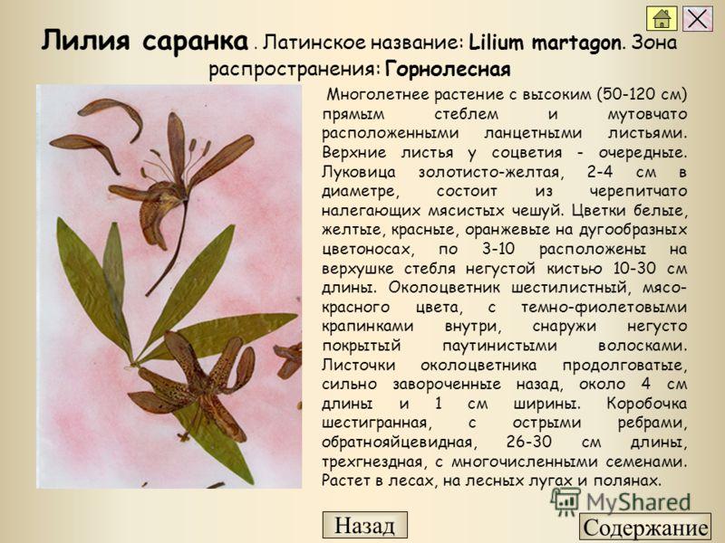 Многолетнее растение с высоким (50-120 см) прямым стеблем и мутовчато расположенными ланцетными листьями. Верхние листья у соцветия - очередные. Луковица золотисто-желтая, 2-4 см в диаметре, состоит из черепитчато налегающих мясистых чешуй. Цветки бе
