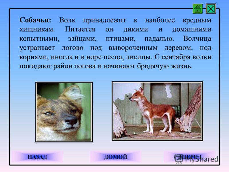 Собачьи: Волк принадлежит к наиболее вредным хищникам. Питается он дикими и домашними копытными, зайцами, птицами, падалью. Волчица устраивает логово под вывороченным деревом, под корнями, иногда и в норе песца, лисицы. С сентября волки покидают райо