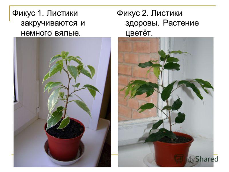 Фикус 1. Листики закручиваются и немного вялые. Фикус 2. Листики здоровы. Растение цветёт.