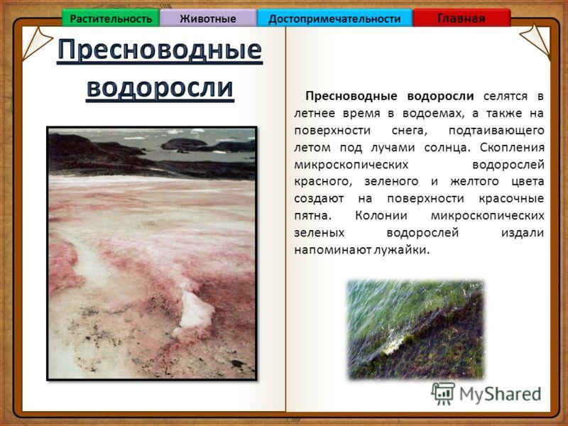 Пресноводные водоросли селятся в летнее время в водоемах, а также на поверхности снега, подтаивающего летом под лучами солнца. Скопления микроскопических водорослей красного, зеленого и желтого цвета создают на поверхности красочные пятна. Колонии ми