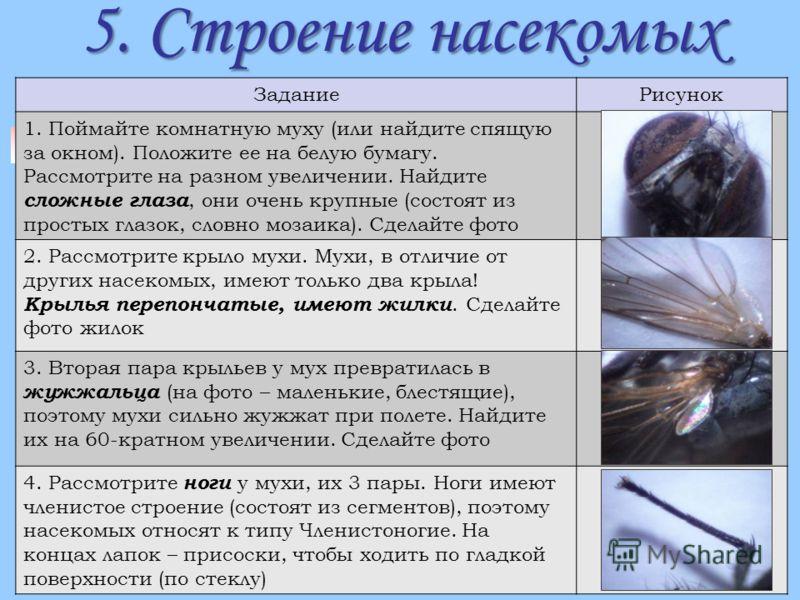 5. Строение насекомых ЗаданиеРисунок 1. Поймайте комнатную муху (или найдите спящую за окном). Положите ее на белую бумагу. Рассмотрите на разном увеличении. Найдите сложные глаза, они очень крупные (состоят из простых глазок, словно мозаика). Сделай