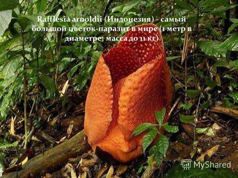 Rafflesia arnoldii (Индонезия) - самый большой цветок-паразит в мире (1 метр в диаметре, масса до 11 кг)