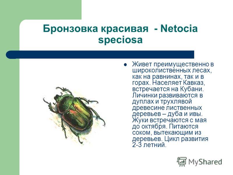 Бронзовка красивая - Netocia speciosa Живет преимущественно в широколиственных лесах, как на равнинах, так и в горах. Населяет Кавказ, встречается на Кубани. Личинки развиваются в дуплах и трухлявой древесине лиственных деревьев – дуба и ивы. Жуки вс