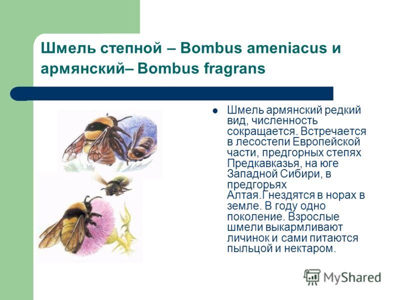 Шмель степной – Bombus ameniacus и армянский– Bombus fragrans Шмель армянский редкий вид, численность сокращается. Встречается в лесостепи Европейской части, предгорных степях Предкавказья, на юге Западной Сибири, в предгорьях Алтая.Гнездятся в норах