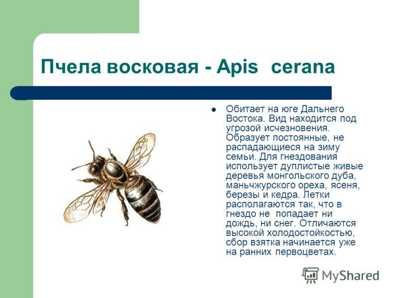 Пчела восковая - Apis cerana Обитает на юге Дальнего Востока. Вид находится под угрозой исчезновения. Образует постоянные, не распадающиеся на зиму семьи. Для гнездования использует дуплистые живые деревья монгольского дуба, маньчжурского ореха, ясен