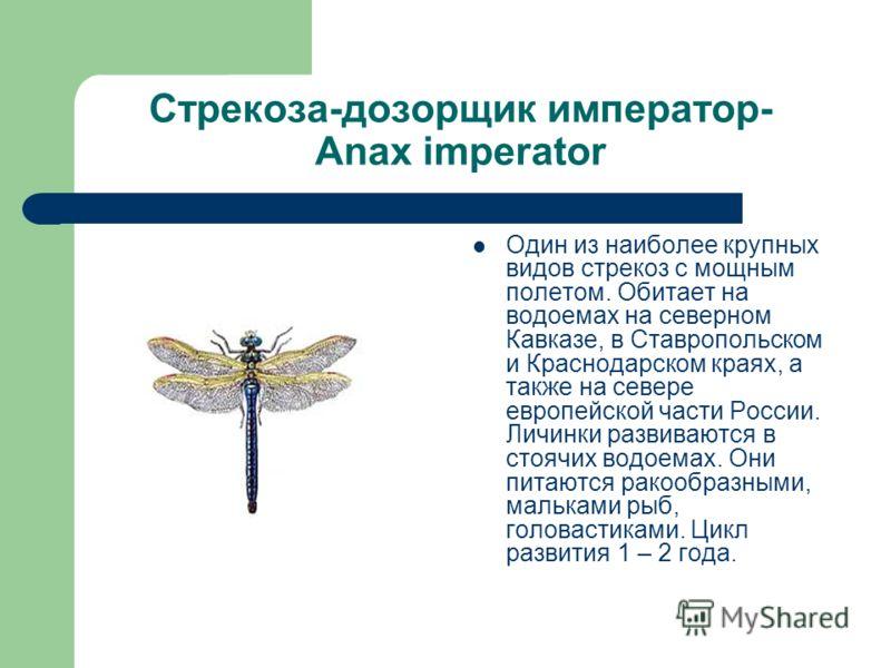 Стрекоза-дозорщик император- Anax imperator Один из наиболее крупных видов стрекоз с мощным полетом. Обитает на водоемах на северном Кавказе, в Ставропольском и Краснодарском краях, а также на севере европейской части России. Личинки развиваются в ст