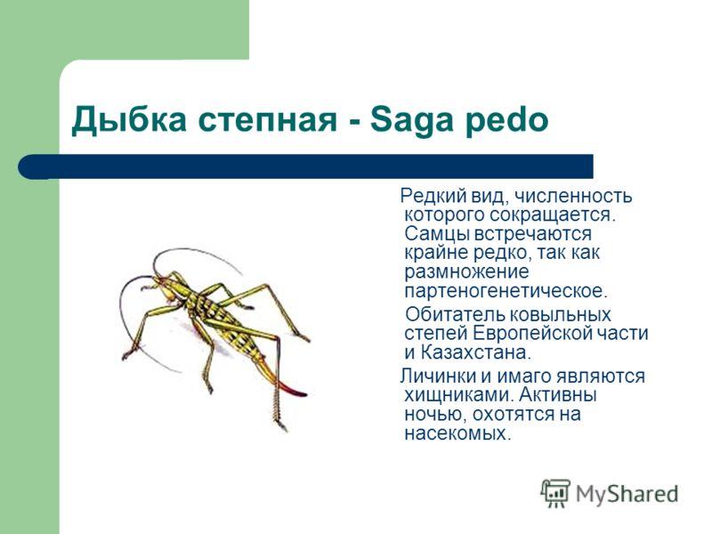 Дыбка степная - Saga pedo Редкий вид, численность которого сокращается. Самцы встречаются крайне редко, так как размножение партеногенетическое. Обитатель ковыльных степей Европейской части и Казахстана. Личинки и имаго являются хищниками. Активны но