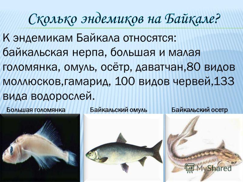 Большая голомянкаБайкальский омульБайкальский осетр К эндемикам Байкала относятся: байкальская нерпа, большая и малая голомянка, омуль, осётр, даватчан,80 видов моллюсков,гамарид, 100 видов червей,133 вида водорослей.