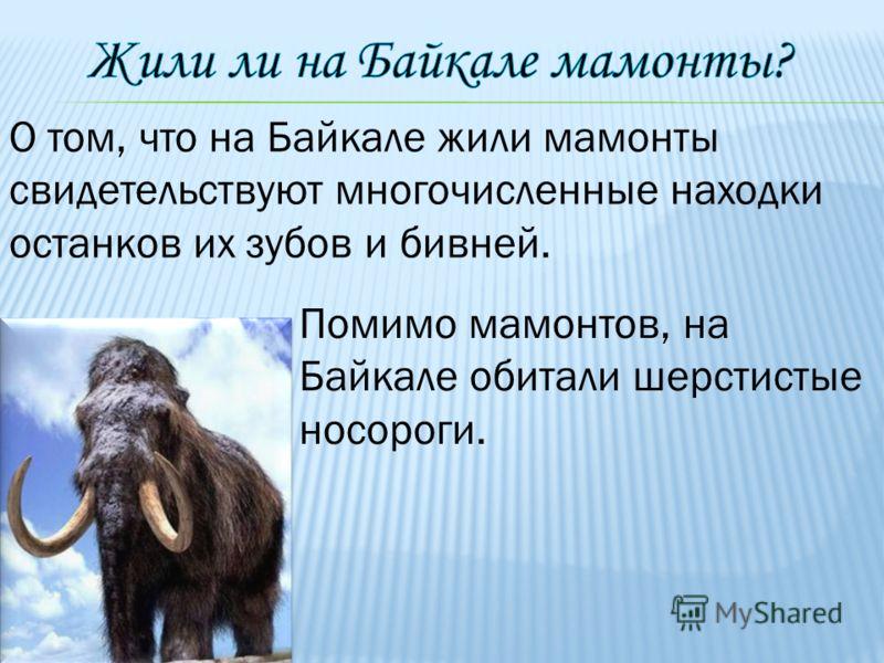 О том, что на Байкале жили мамонты свидетельствуют многочисленные находки останков их зубов и бивней. Помимо мамонтов, на Байкале обитали шерстистые носороги.