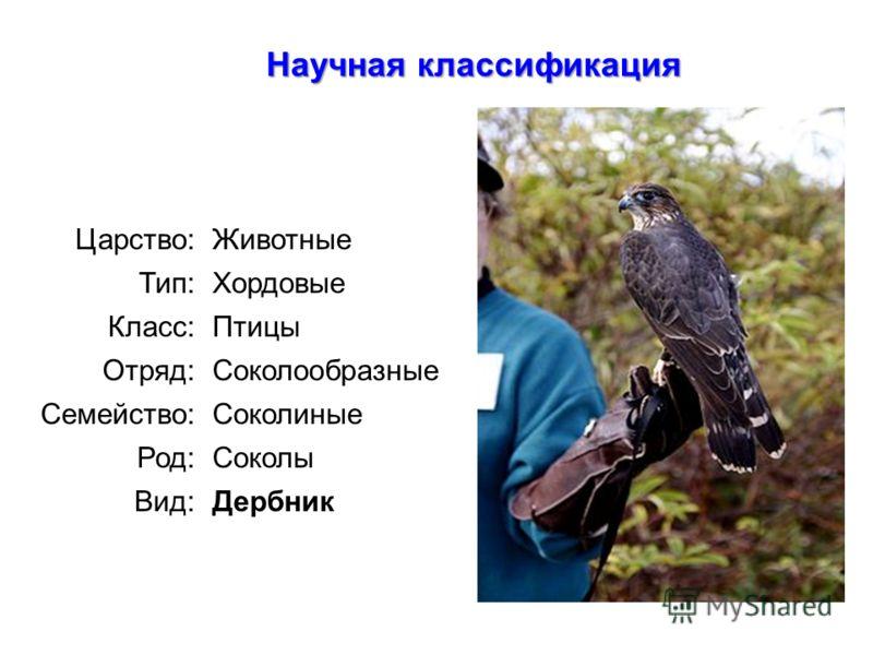 : Научная классификация Царство:Животные Тип:Хордовые Класс:Птицы Отряд:Соколообразные Семейство:Соколиные Род:Соколы Вид:Дербник