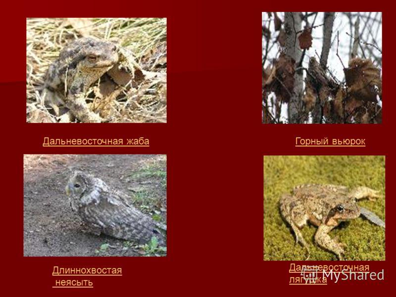Горный вьюрокДальневосточная жаба Дальневосточная лягушка Длиннохвостая неясыть
