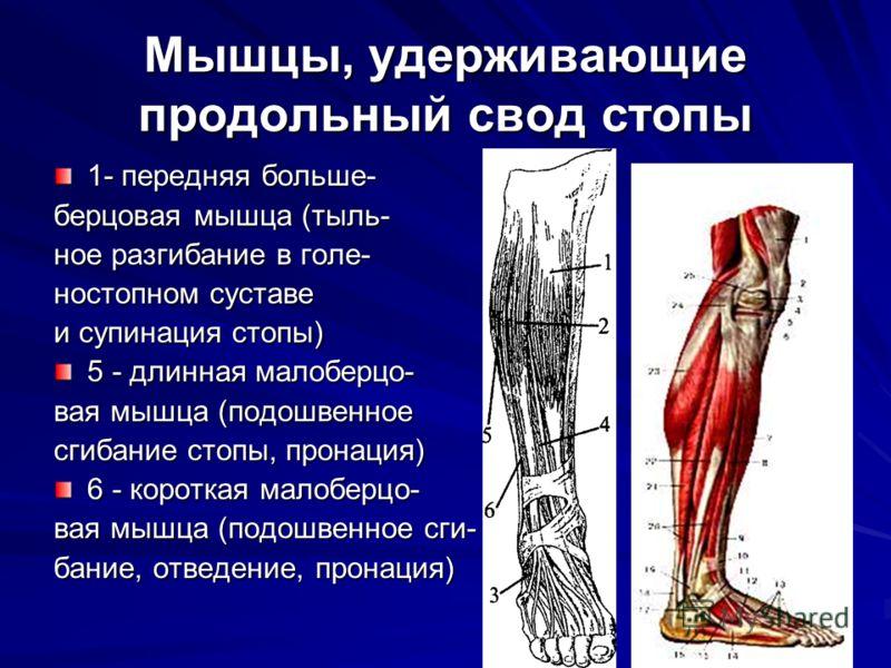Мышцы, удерживающие продольный свод стопы 1- передняя больше- берцовая мышца (тыль- ное разгибание в голе- ностопном суставе и супинация стопы) 5 - длинная малоберцо- вая мышца (подошвенное сгибание стопы, пронация) 6 - короткая малоберцо- вая мышца
