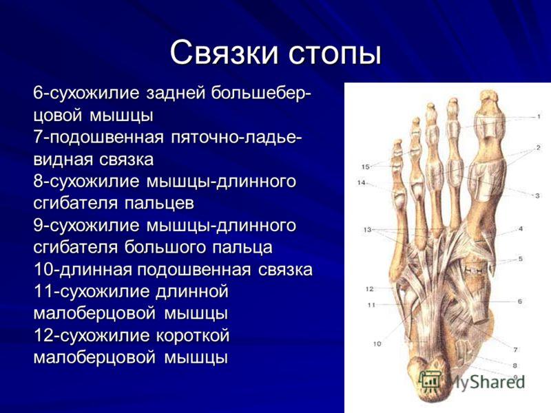 Связки стопы 6-сухожилие задней большебер- цовой мышцы 7-подошвенная пяточно-ладье- видная связка 8-сухожилие мышцы-длинного сгибателя пальцев 9-сухожилие мышцы-длинного сгибателя большого пальца 10-длинная подошвенная связка 11-сухожилие длинной мал