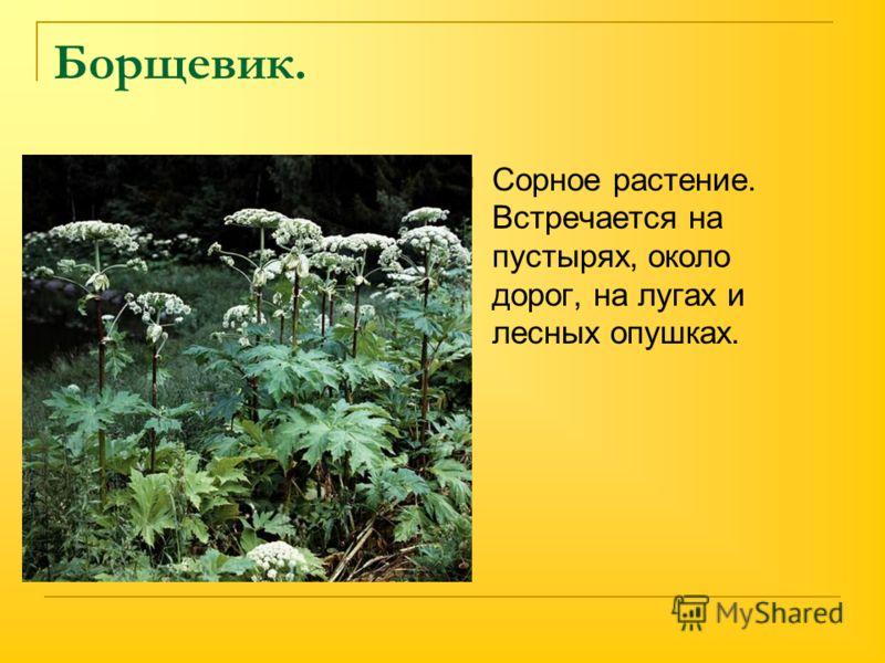Борщевик. Сорное растение. Встречается на пустырях, около дорог, на лугах и лесных опушках.