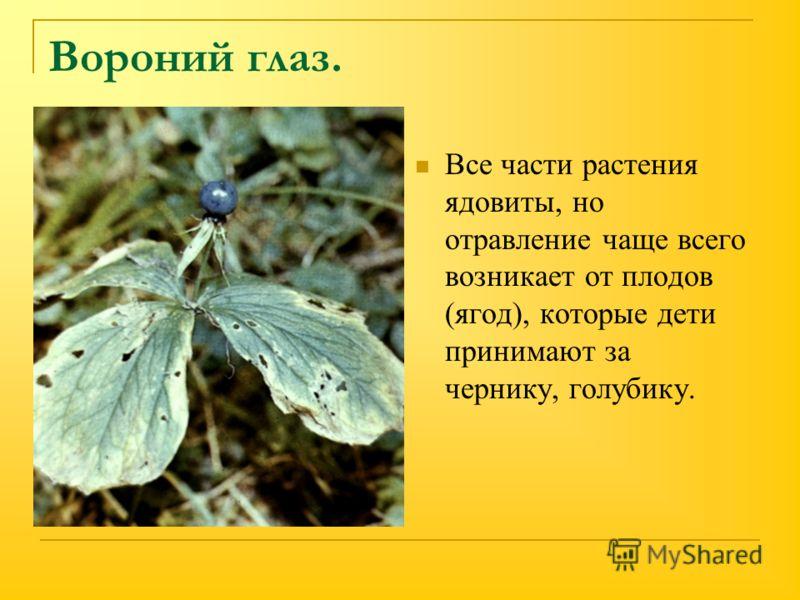 Вороний глаз. Все части растения ядовиты, но отравление чаще всего возникает от плодов (ягод), которые дети принимают за чернику, голубику.