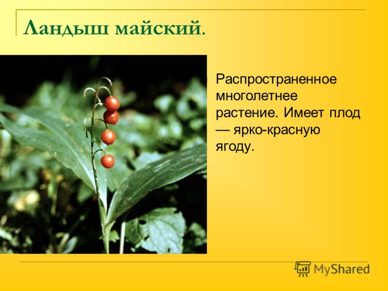 Ландыш майский. Распространенное многолетнее растение. Имеет плод ярко-красную ягоду.
