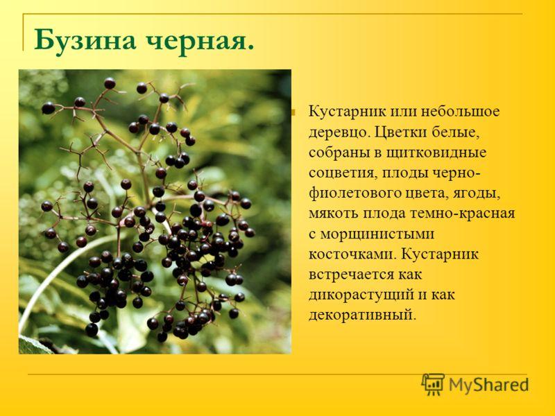 Бузина черная. Кустарник или небольшое деревцо. Цветки белые, собраны в щитковидные соцветия, плоды черно- фиолетового цвета, ягоды, мякоть плода темно-красная с морщинистыми косточками. Кустарник встречается как дикорастущий и как декоративный.