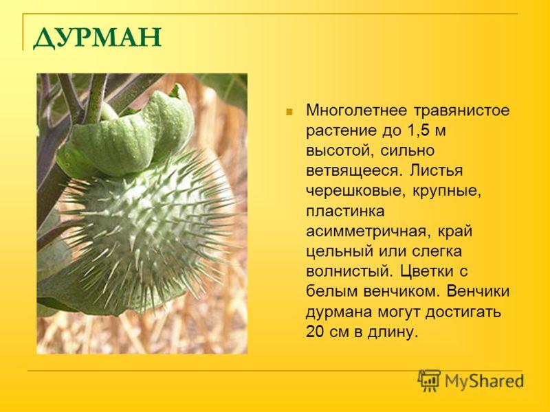 ДУРМАН Многолетнее травянистое растение до 1,5 м высотой, сильно ветвящееся. Листья черешковые, крупные, пластинка асимметричная, край цельный или слегка волнистый. Цветки с белым венчиком. Венчики дурмана могут достигать 20 см в длину.