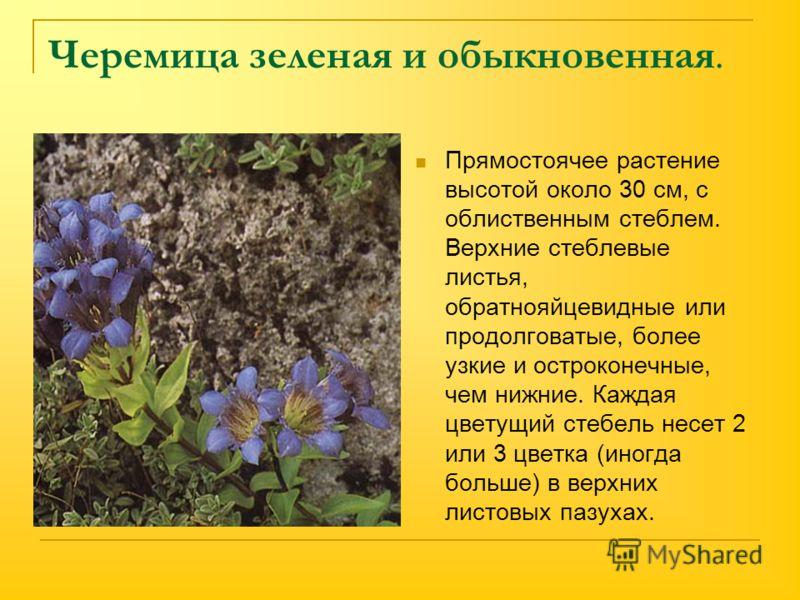 Черемица зеленая и обыкновенная. Прямостоячее растение высотой около 30 см, с облиственным стеблем. Верхние стеблевые листья, обратнояйцевидные или продолговатые, более узкие и остроконечные, чем нижние. Каждая цветущий стебель несет 2 или 3 цветка (