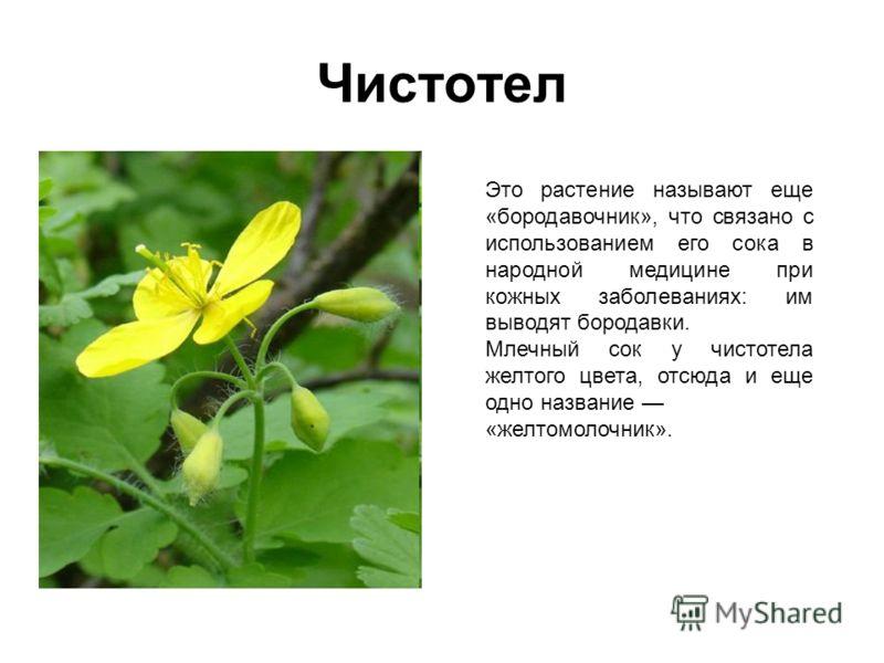 Чистотел Это растение называют еще «бородавочник», что связано с использованием его сока в народной медицине при кожных заболеваниях: им выводят бородавки. Млечный сок у чистотела желтого цвета, отсюда и еще одно название «желтомолочник».