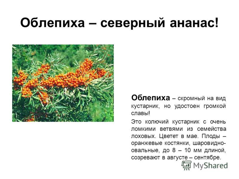 Облепиха – северный ананас! Облепиха – скромный на вид кустарник, но удостоен громкой славы! Это колючий кустарник с очень ломкими ветвями из семейства лоховых. Цветет в мае. Плоды – оранжевые костянки, шаровидно- овальные, до 8 – 10 мм длиной, созре