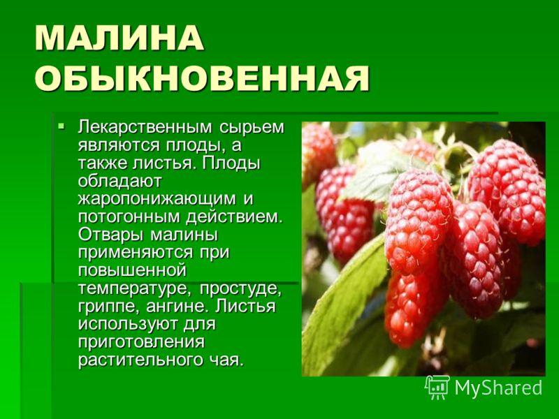 МАЛИНА ОБЫКНОВЕННАЯ Лекарственным сырьем являются плоды, а также листья. Плоды обладают жаропонижающим и потогонным действием. Отвары малины применяются при повышенной температуре, простуде, гриппе, ангине. Листья используют для приготовления растите