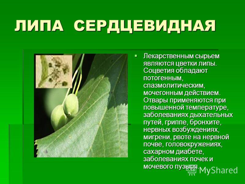 ЛИПА СЕРДЦЕВИДНАЯ Лекарственным сырьем являются цветки липы. Соцветия обладают потогенным, спазмолитическим, мочегонным действием. Отвары применяются при повышенной температуре, заболеваниях дыхательных путей, гриппе, бронхите, нервных возбуждениях,