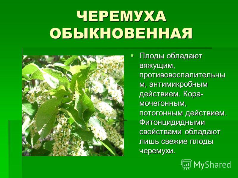 ЧЕРЕМУХА ОБЫКНОВЕННАЯ Плоды обладают вяжущим, противовоспалительны м, антимикробным действием. Кора- мочегонным, потогонным действием. Фитонцидидными свойствами обладают лишь свежие плоды черемухи. Плоды обладают вяжущим, противовоспалительны м, анти