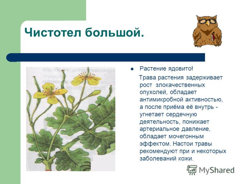 Чистотел большой. Растение ядовито! Трава растения задерживает рост злокачественных опухолей, обладает антимикробной активностью, а после приёма её внутрь - угнетает сердечную деятельность, понижает артериальное давление, обладает мочегонным эффектом