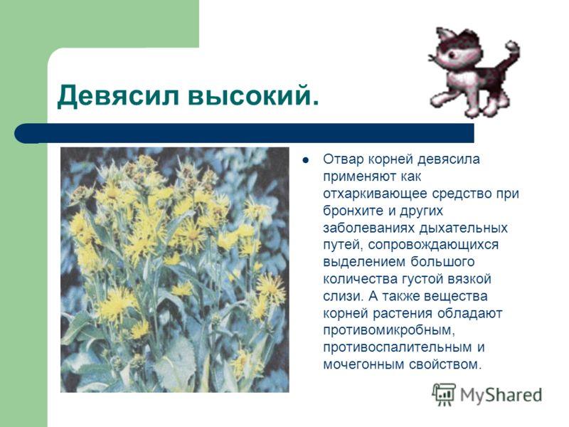 Девясил высокий. Отвар корней девясила применяют как отхаркивающее средство при бронхите и других заболеваниях дыхательных путей, сопровождающихся выделением большого количества густой вязкой слизи. А также вещества корней растения обладают противоми