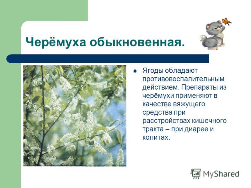 Черёмуха обыкновенная. Ягоды обладают противовоспалительным действием. Препараты из черёмухи применяют в качестве вяжущего средства при расстройствах кишечного тракта – при диарее и колитах.