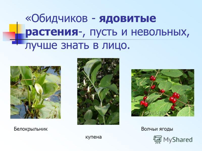«Обидчиков - ядовитые растения-, пусть и невольных, лучше знать в лицо. купена Волчьи ягодыБелокрыльник