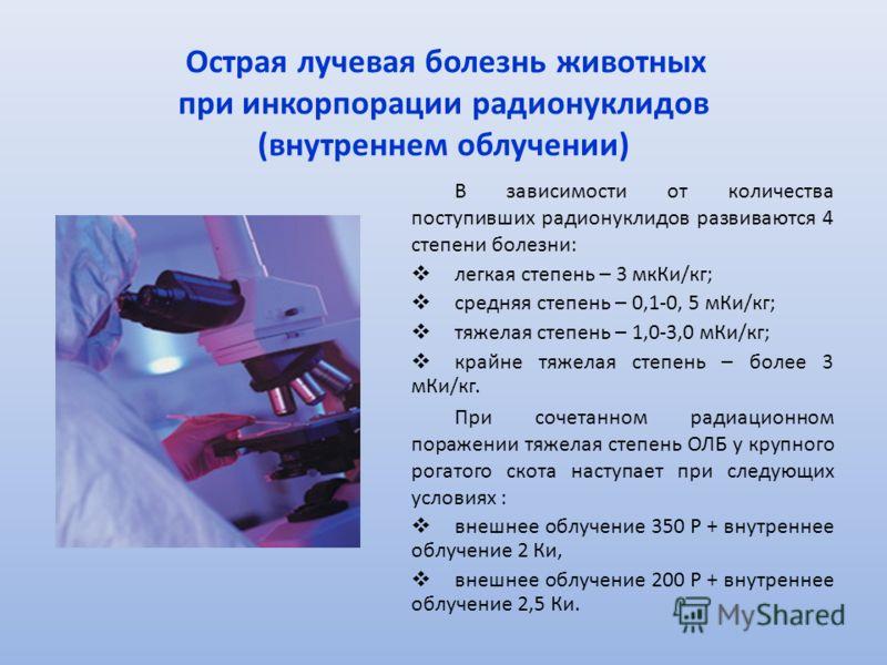 Острая лучевая болезнь животных при инкорпорации радионуклидов (внутреннем облучении) В зависимости от количества поступивших радионуклидов развиваются 4 степени болезни: легкая степень – 3 мкКи/кг; средняя степень – 0,1-0, 5 мКи/кг; тяжелая степень