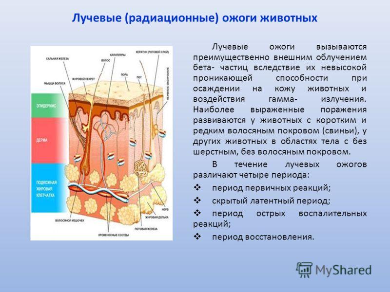 Лучевые (радиационные) ожоги животных Лучевые ожоги вызываются преимущественно внешним облучением бета- частиц вследствие их невысокой проникающей способности при осаждении на кожу животных и воздействия гамма- излучения. Наиболее выраженные поражени