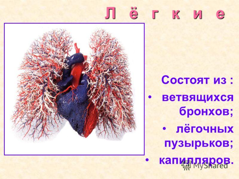 Л ё г к и е Состоят из : ветвящихся бронхов; лёгочных пузырьков; капилляров.