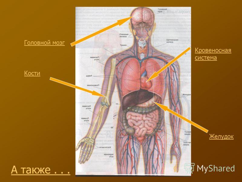Головной мозг Кровеносная система Желудок Кости А также...