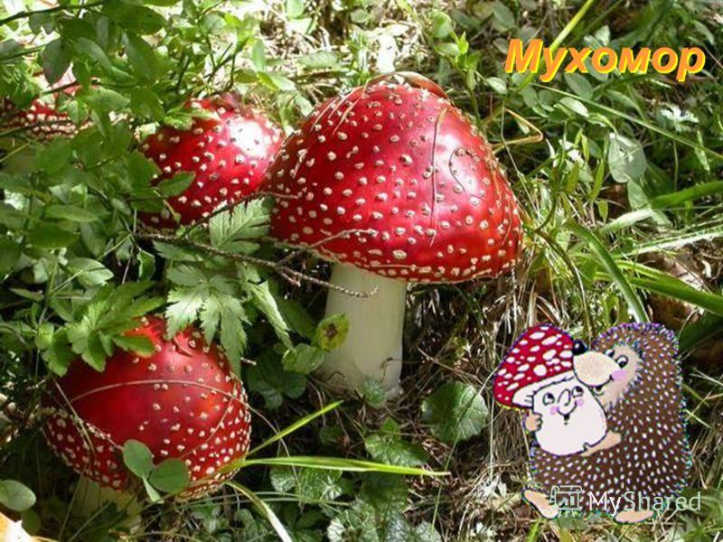 Подосиновик Это гриб, хоть и имеет такое название, растёт не только под осинами. Он может оказаться и под берёзами, и в еловом, и в сосновом лесу. А подосиновиком он прозван, наверное потому, что в сухое лето, когда в березняке и хвойном лесу ни одно