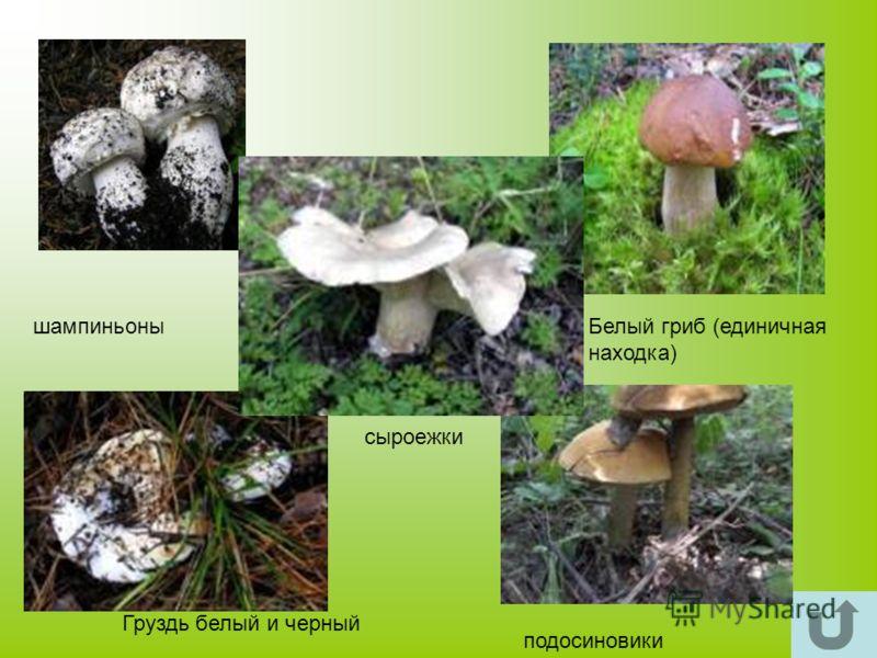 шампиньоныБелый гриб (единичная находка) Груздь белый и черный подосиновики сыроежки