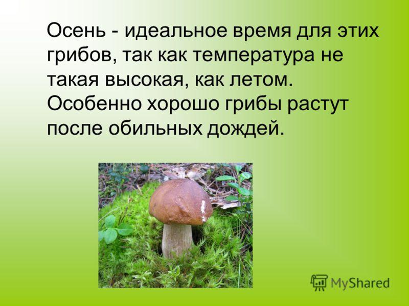 Осень - идеальное время для этих грибов, так как температура не такая высокая, как летом. Особенно хорошо грибы растут после обильных дождей.