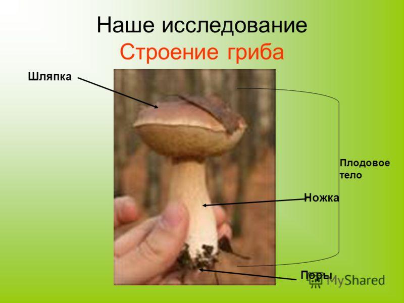 Наше исследование Строение гриба Шляпка Ножка Поры Плодовое тело