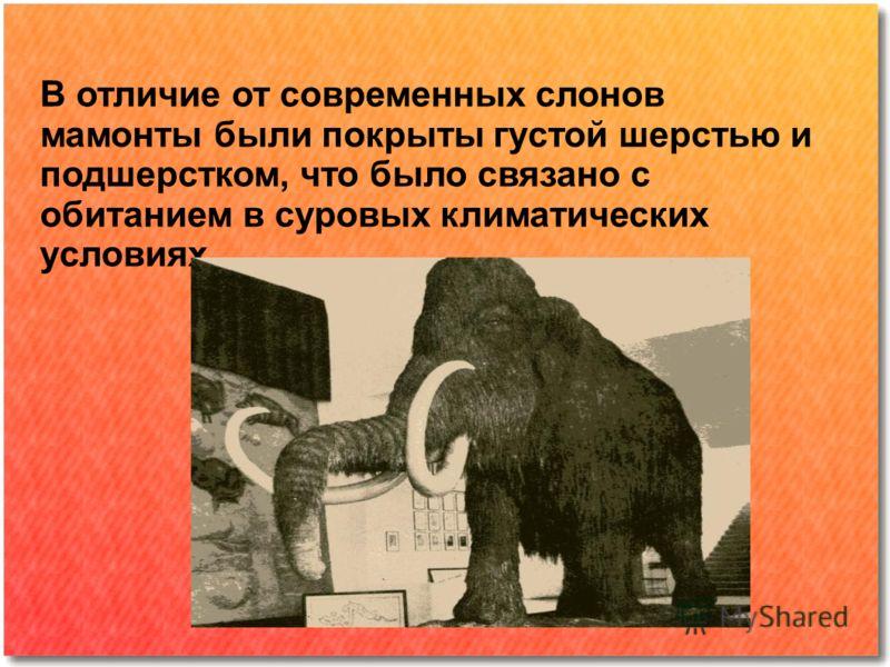 В отличие от современных слонов мамонты были покрыты густой шерстью и подшерстком, что было связано с обитанием в суровых климатических условиях.