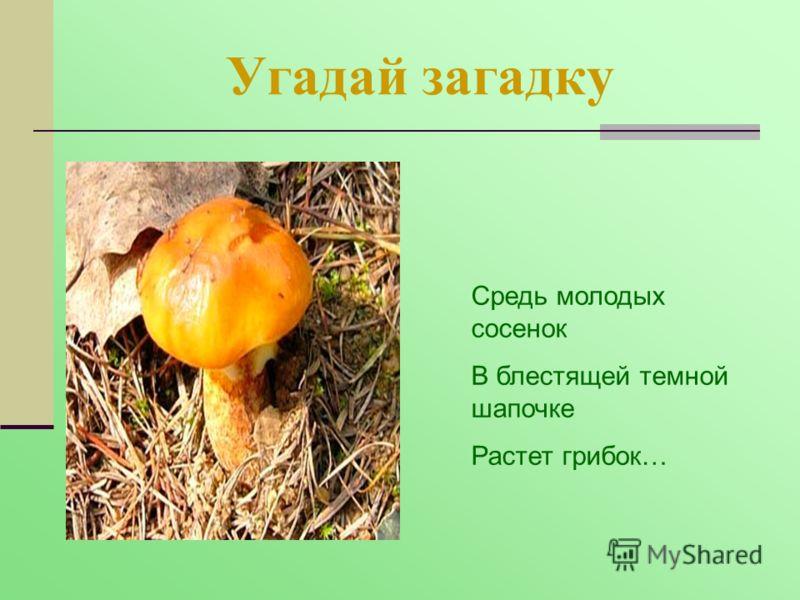 Угадай загадку Средь молодых сосенок В блестящей темной шапочке Растет грибок…
