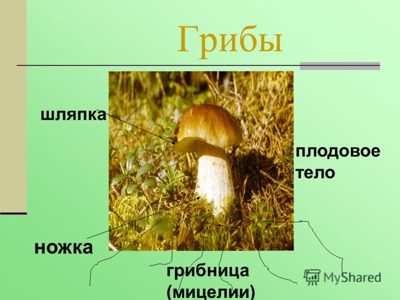 Грибы шляпка ножка плодовое тело грибница (мицелии)