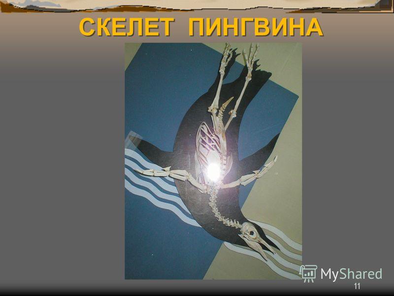 11 СКЕЛЕТ ПИНГВИНА