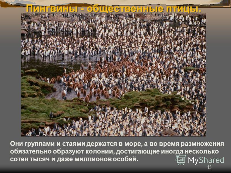 13 Пингвины - общественные птицы. Они группами и стаями держатся в море, а во время размножения обязательно образуют колонии, достигающие иногда несколько сотен тысяч и даже миллионов особей.