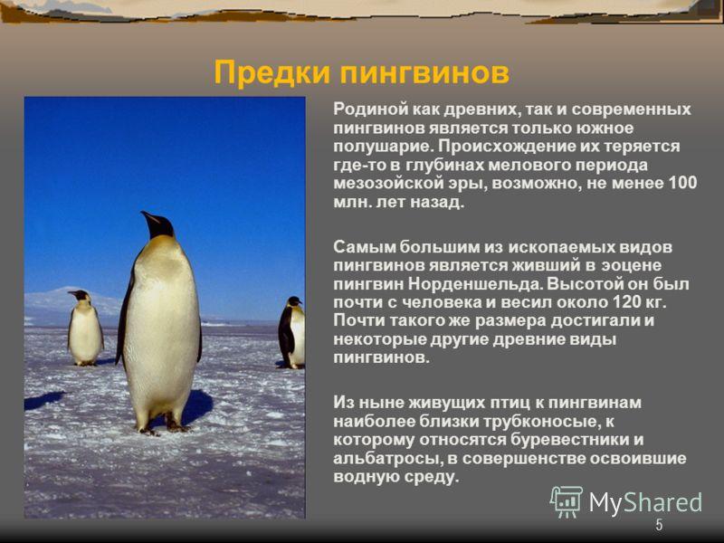 5 Родиной как древних, так и современных пингвинов является только южное полушарие. Происхождение их теряется где-то в глубинах мелового периода мезозойской эры, возможно, не менее 100 млн. лет назад. Самым большим из ископаемых видов пингвинов являе