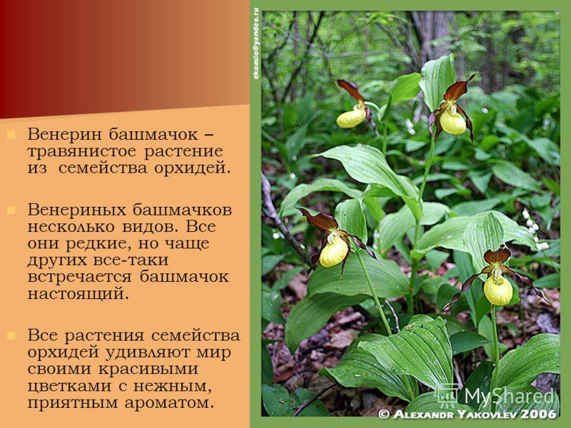 Венерин башмачок – травянистое растение из семейства орхидей. Венериных башмачков несколько видов. Все они редкие, но чаще других все-таки встречается башмачок настоящий. Все растения семейства орхидей удивляют мир своими красивыми цветками с нежным,