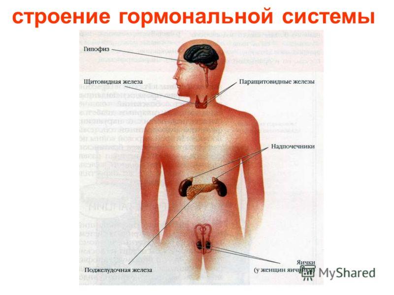 гормональная система Гормональная система.