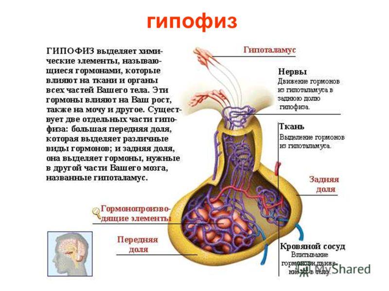 строение гормональной системы Строение гормональной системы.