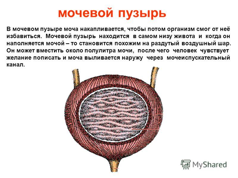 почки Почки – это парный орган, одна почка расположена справа под ребрами, вторая – слева. Почки выводят избыток воды, солей и очищают кровь от чужеродных веществ. По своей форме они напоминают фасолинки. Почки вырабатывают мочу, которая дальше двига